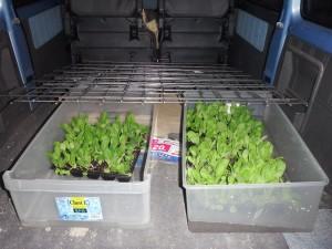 s-17植え付け用に水に浸した白菜3ポット