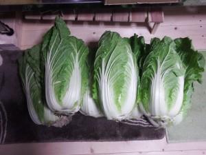 s-03-1漬け物用白菜