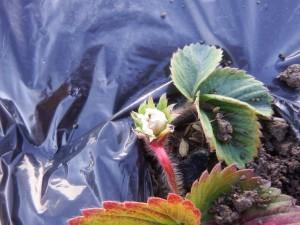 s-07-1イチゴの花2