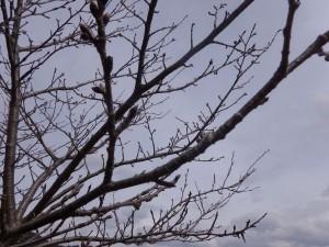 s-07-2桜のつぼみ