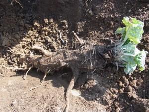 s-15-3掘り出したゴボウ