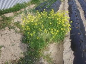 s-06水菜の菜の花