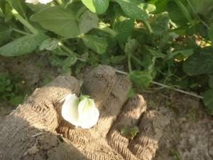 s-02-3エンドウ花の摘み取り