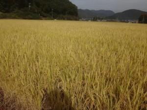 s-04-3収穫前